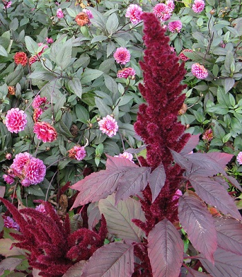 Dahlia and amaranth