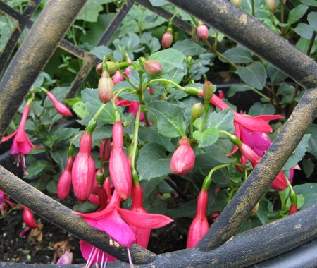 Pink Fizz Fuchsia flowering