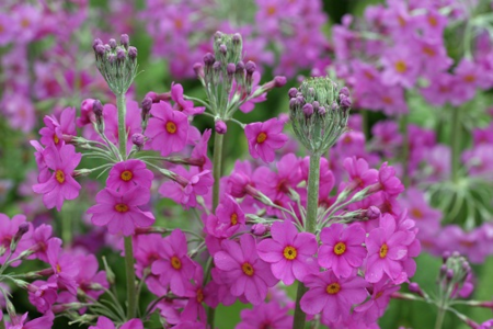 ©The Farplants Group_FD5431 Primula beesiana