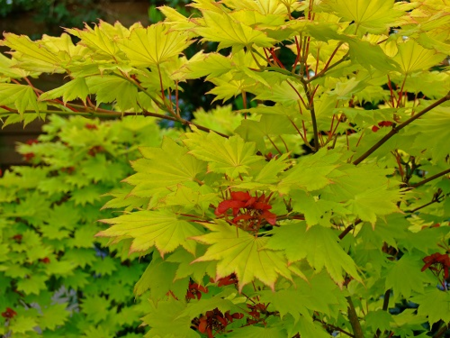 ©Adam Pasco Media_Japanese Maple  (Acer shirasawanum 'Aureum')