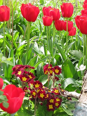 Tulips and primulas