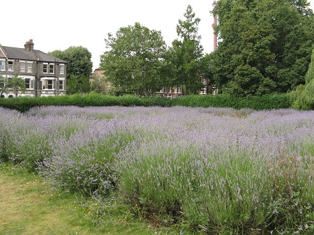Lavender field, Vauxhall Park, London