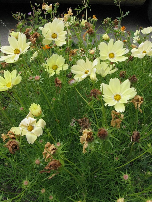 Plant review cosmos xanthos the first compact yellow early it was a fleuroselects gold medal winner for 2016 on the grounds that it was uniform well branched and very suitable as a pot plant and added a new mightylinksfo