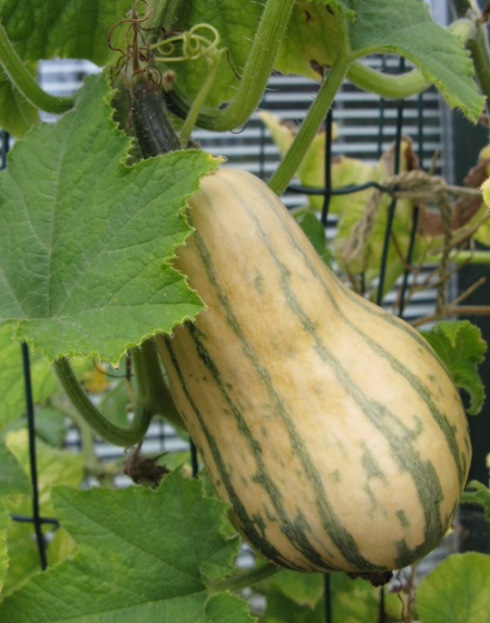 Honey Boat Squash