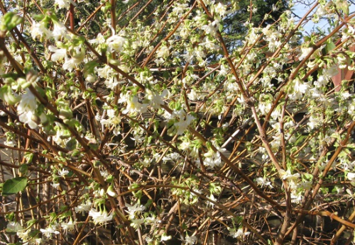 Winter honeysuckle, Lonicera fragrantissima in full bloom