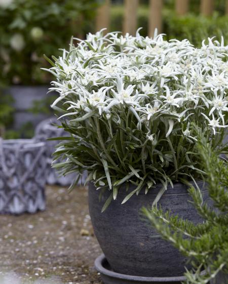 Edelweis Blossom of Snow