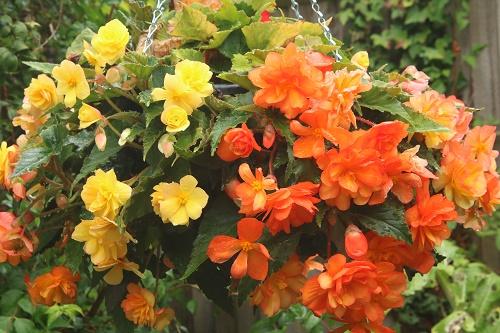 Begonia Apricot Illumination  Van Meuwen  hanging basket