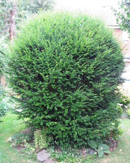 Yew prior to cutting