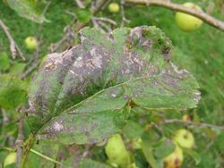 Apple leaf with scab