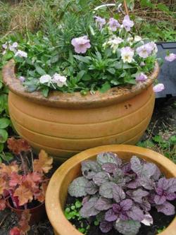 Plant Me Now violas, lavender, ajuga