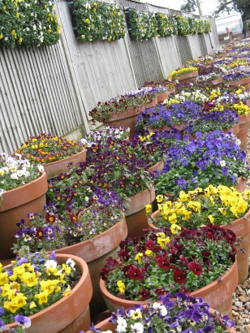 Viola and pansy display at Wisley March 2013