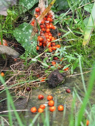 Iris foetidissima, Stinking Iris berries spill across ground
