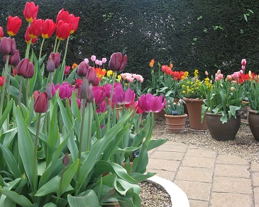 Tulips in pots on trial at RHS Wisley. May 2015