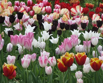 Tulips on trial at RHS Wisley. May 2015