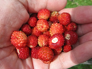 Handful of alpine strawberries
