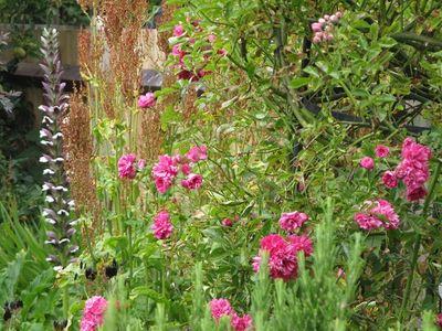 Acanthus mollis with pink rambling rose