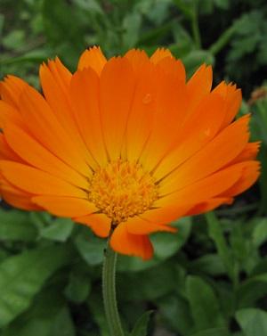 French marigold II