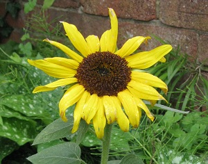 Short Sunflower