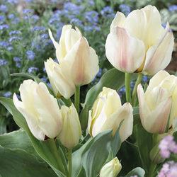 Albion Star Tulip