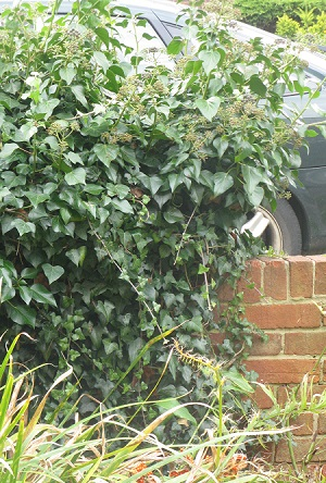 Ivy on top of wall