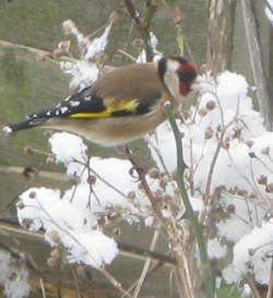 Goldfinch seeking seeds 2012
