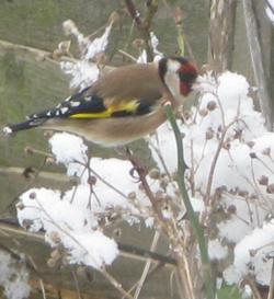 Goldfinch seeking seeds 2012