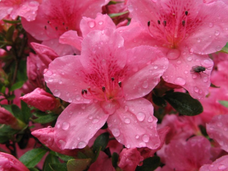Azalea Willy close up, raindrops, fly