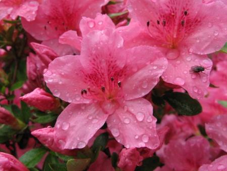 Azalea Willy close up, raindrops, fly