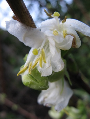 Winter honeysuckle flower