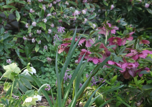 Hellebores and daphne