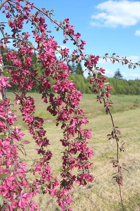 Malus x purpurea Crimson Cascade  Hillier Nurseries