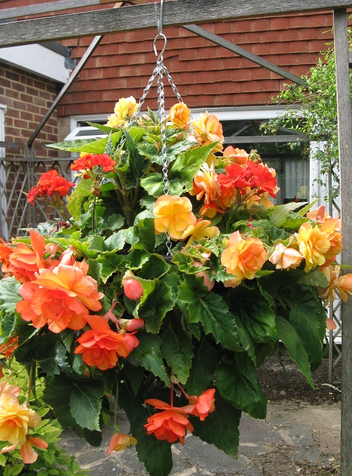 Apricot Illumination Begonia hanging basket
