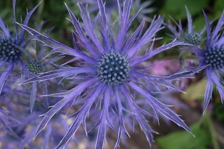 2018 new plant - Eryngium 'Blue Wave'