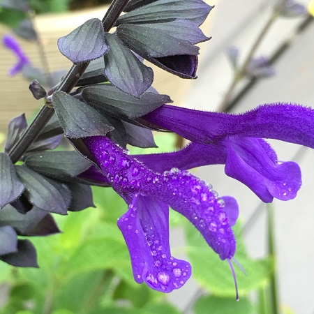 2018 new plant - Salvia 'Rhythm & Blues'
