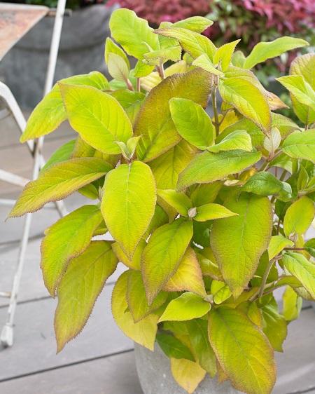 Hydrangea Goldrush ('Chiel') (2)